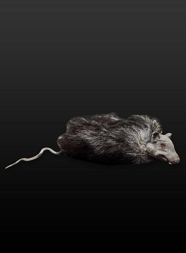 Hairy Rat