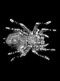 Belt Buckle Spider